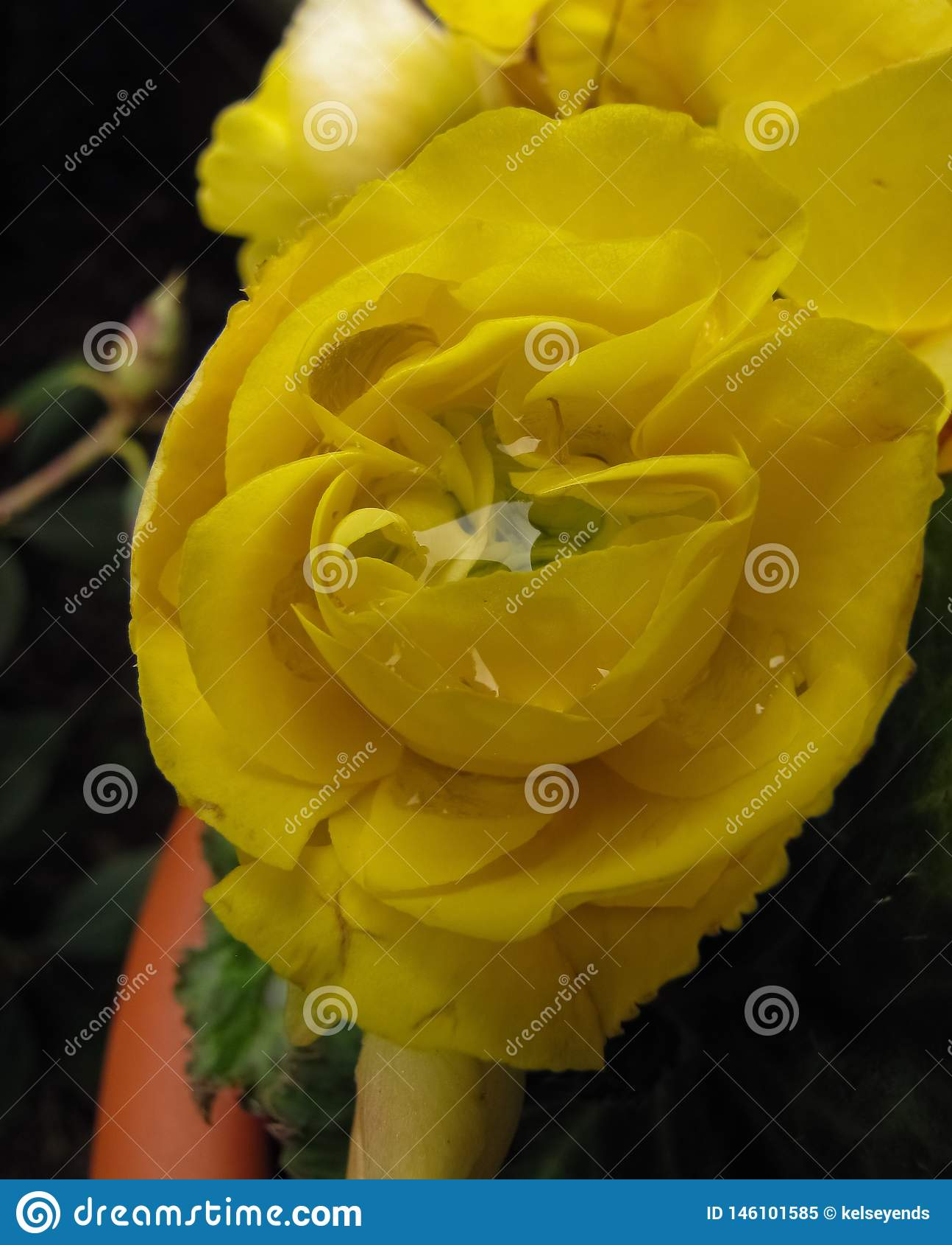 Dobro amarelo Impatien com centro 2 da gota da chuva