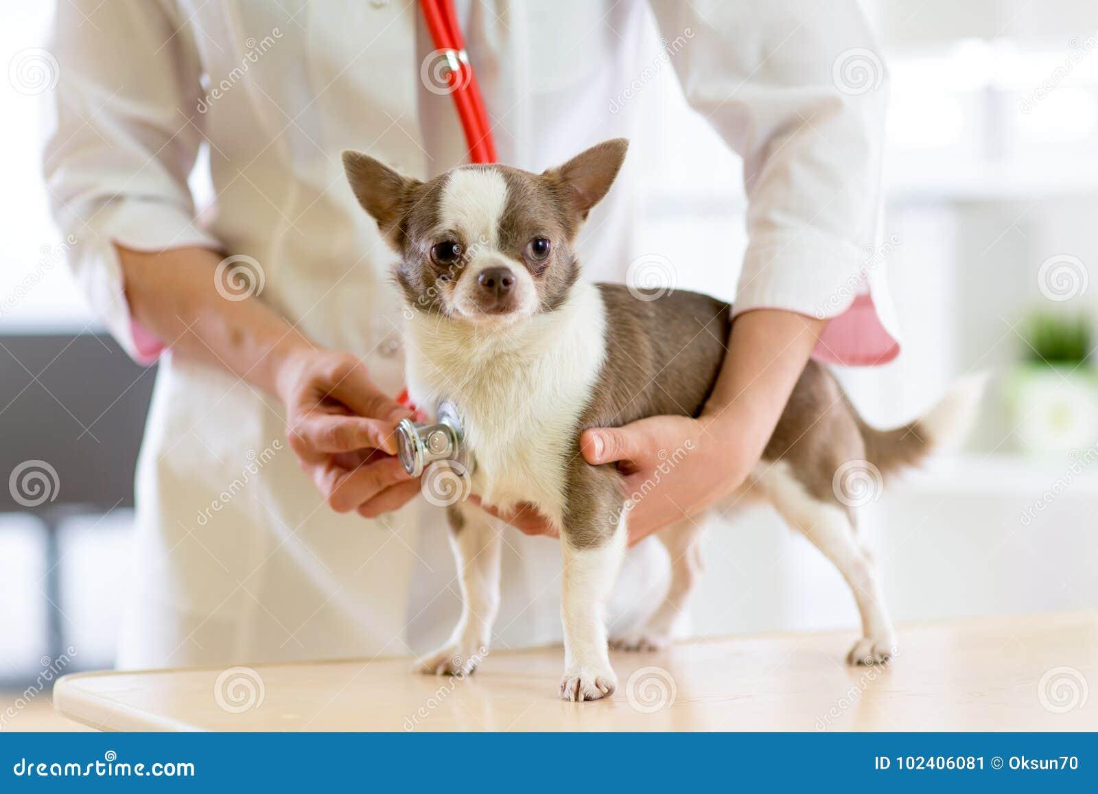 Docteur vétérinaire à l aide du stéthoscope au cours de l examen dans la clinique vétérinaire Terrier de chien dans la clinique v