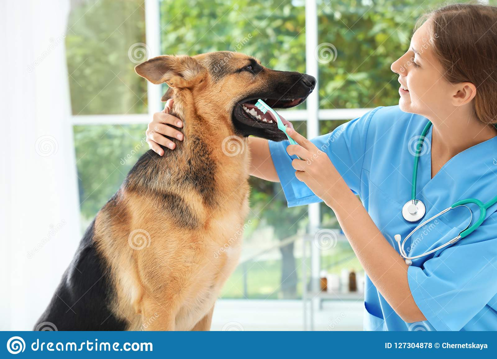 Doctor cleaning dog`s teeth with toothbrush indoors