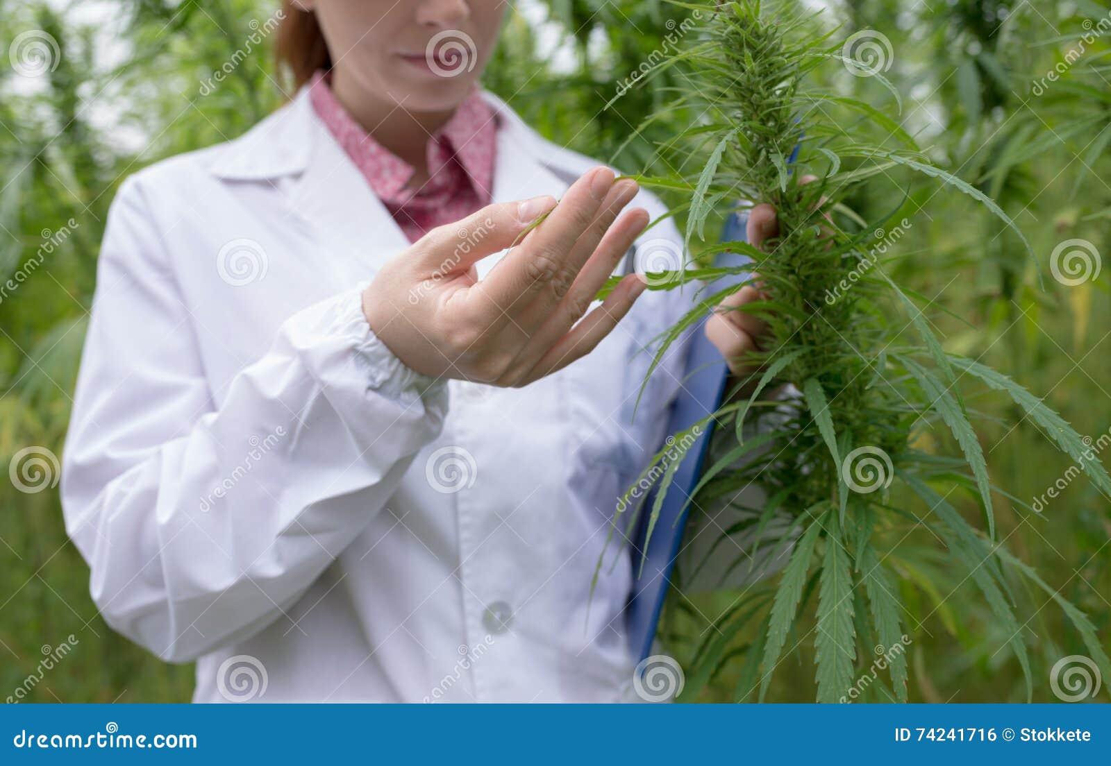 Doctor que comprueba las flores del cáñamo