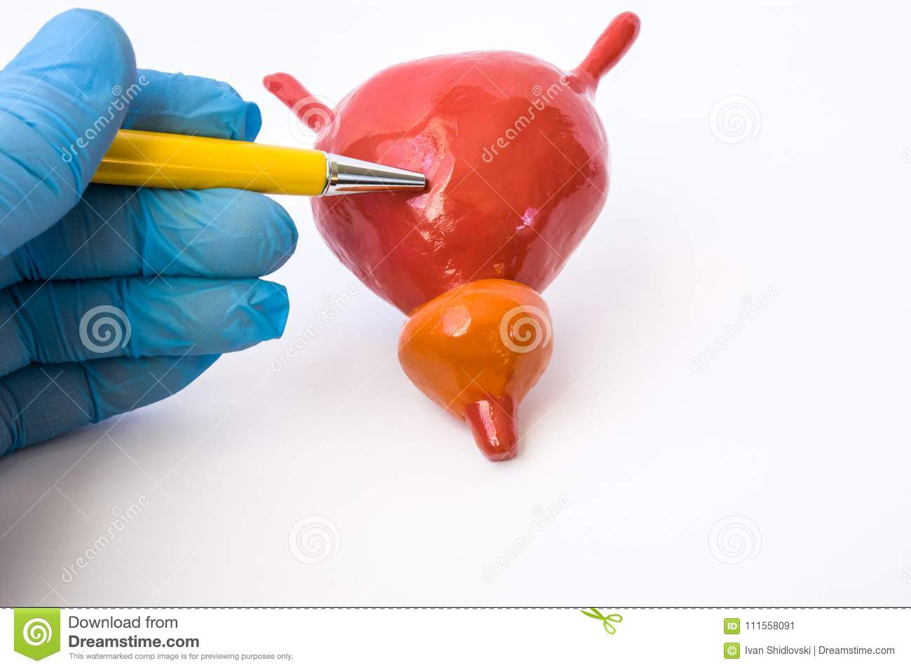 Doctor Or Teacher With Ballpoint Pen Pointing On Bladder On ...