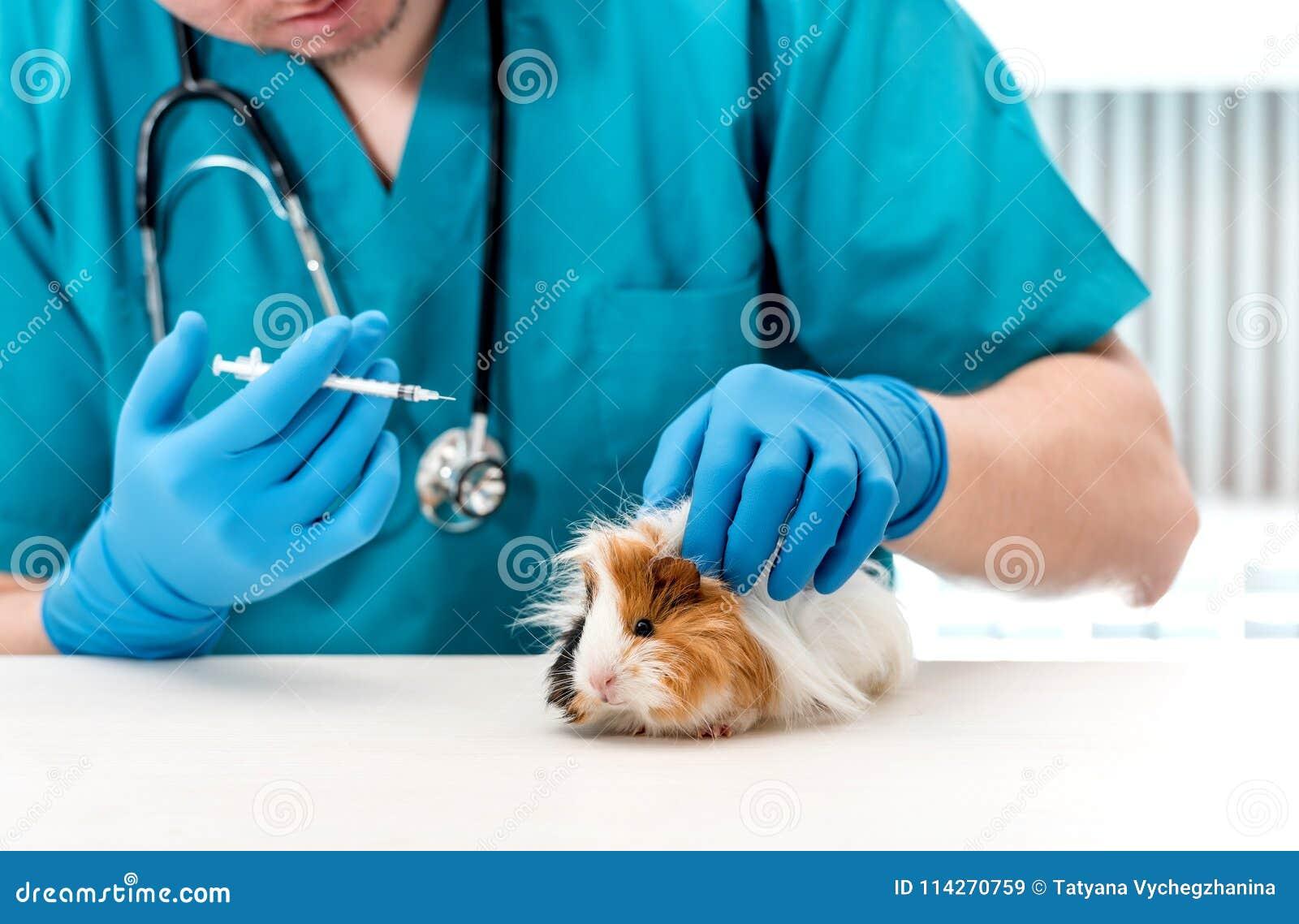 Doctor veterinario que sostiene una jeringuilla para tratar el conejillo de Indias