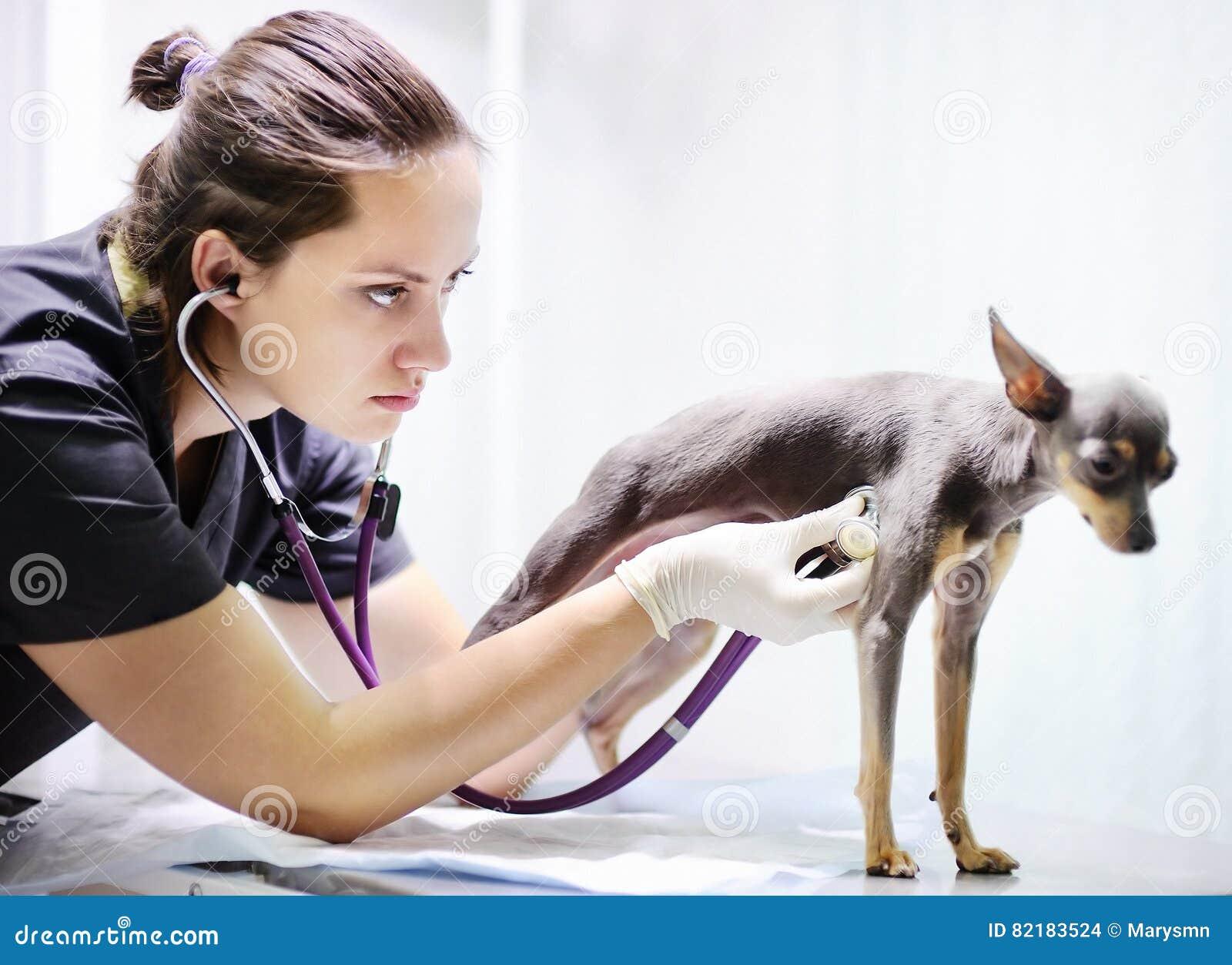 Doctor veterinario que usa el estetoscopio para el perro durante el examen en clínica veterinaria