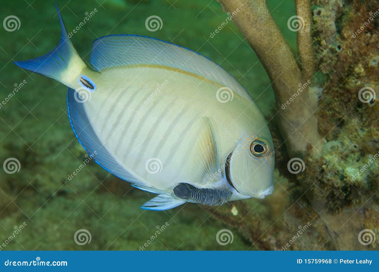 Doctorfish - photo#10