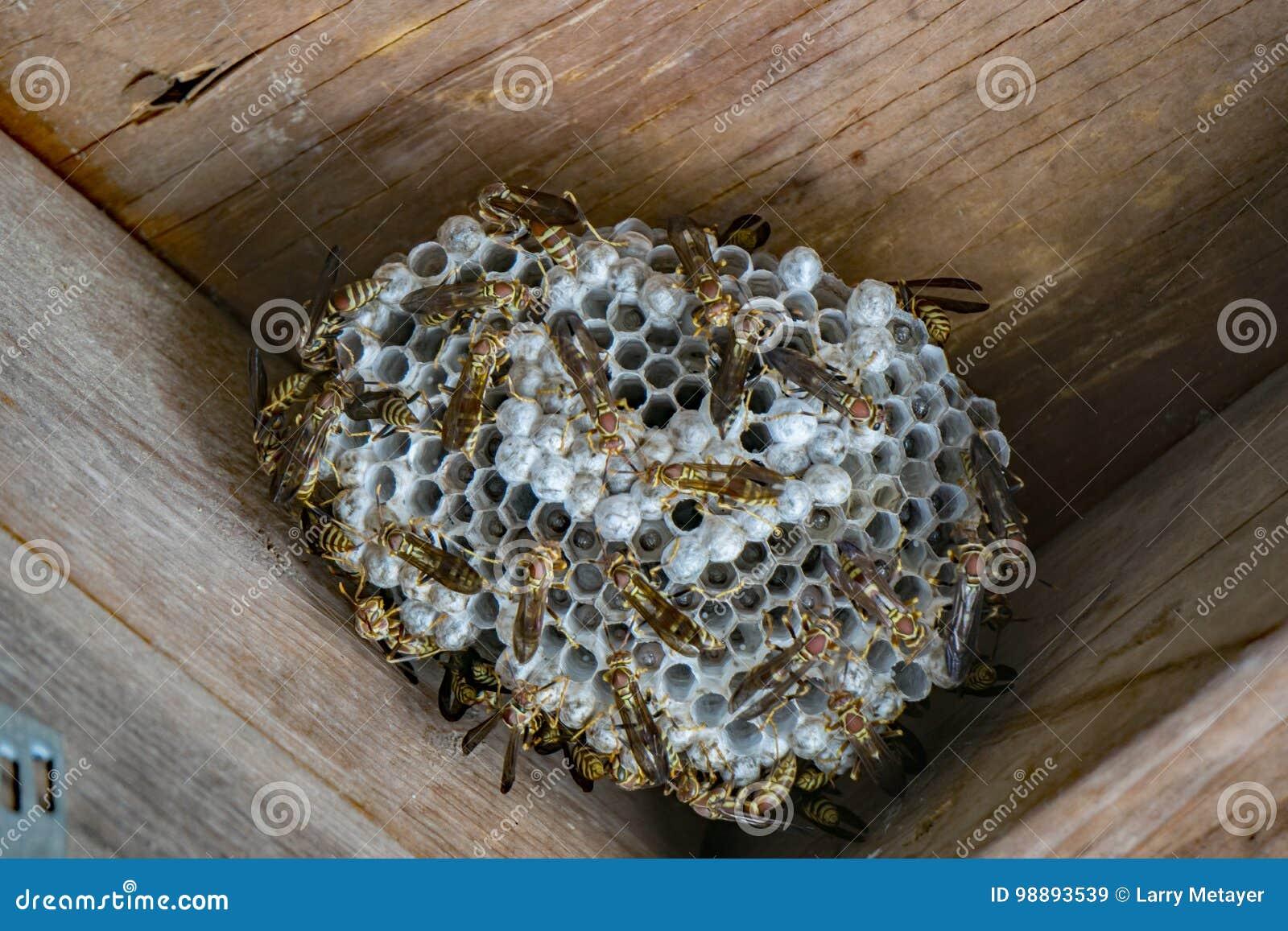 Document Wespen op nest
