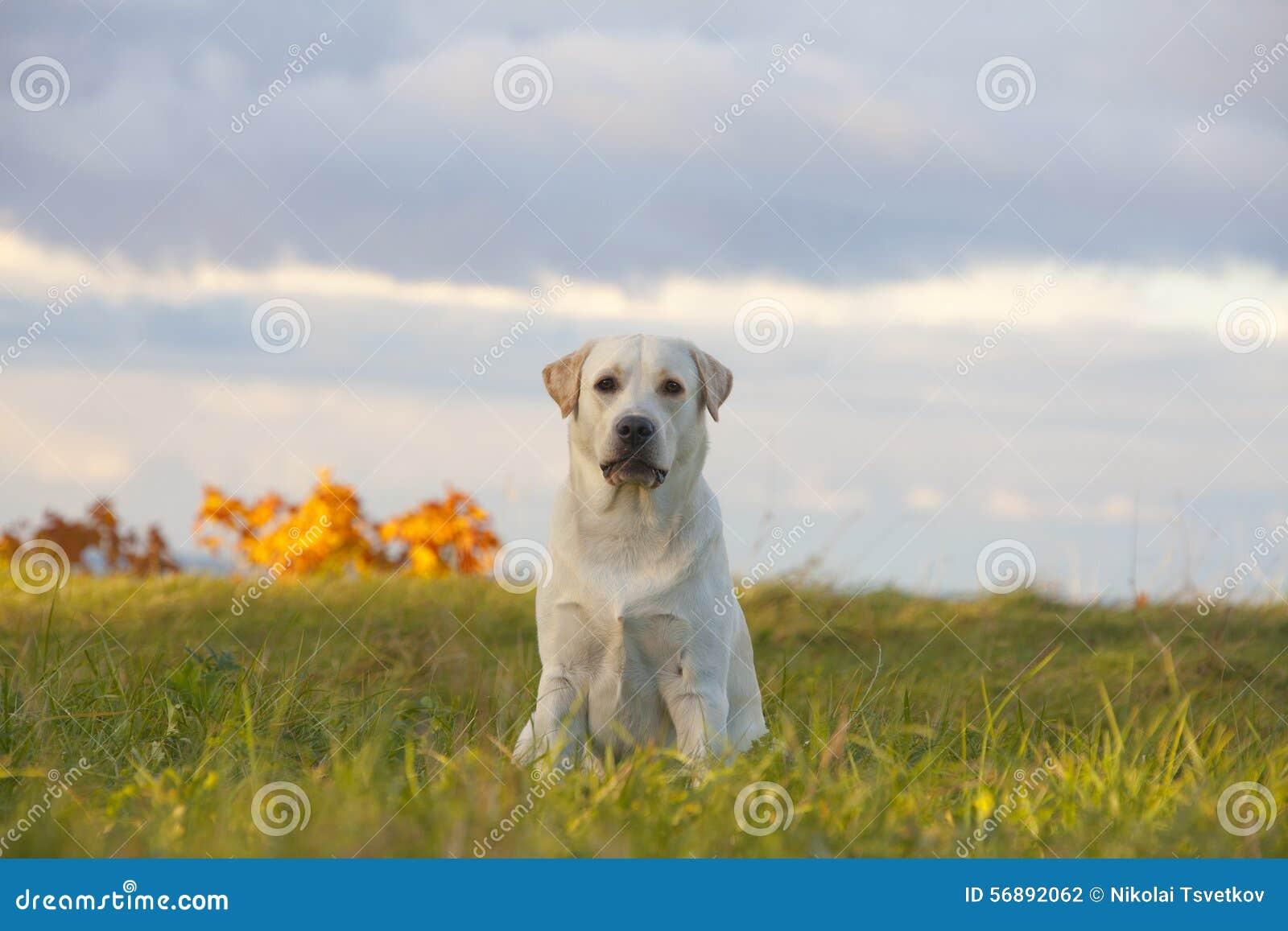 Documentalista di labrador del cane