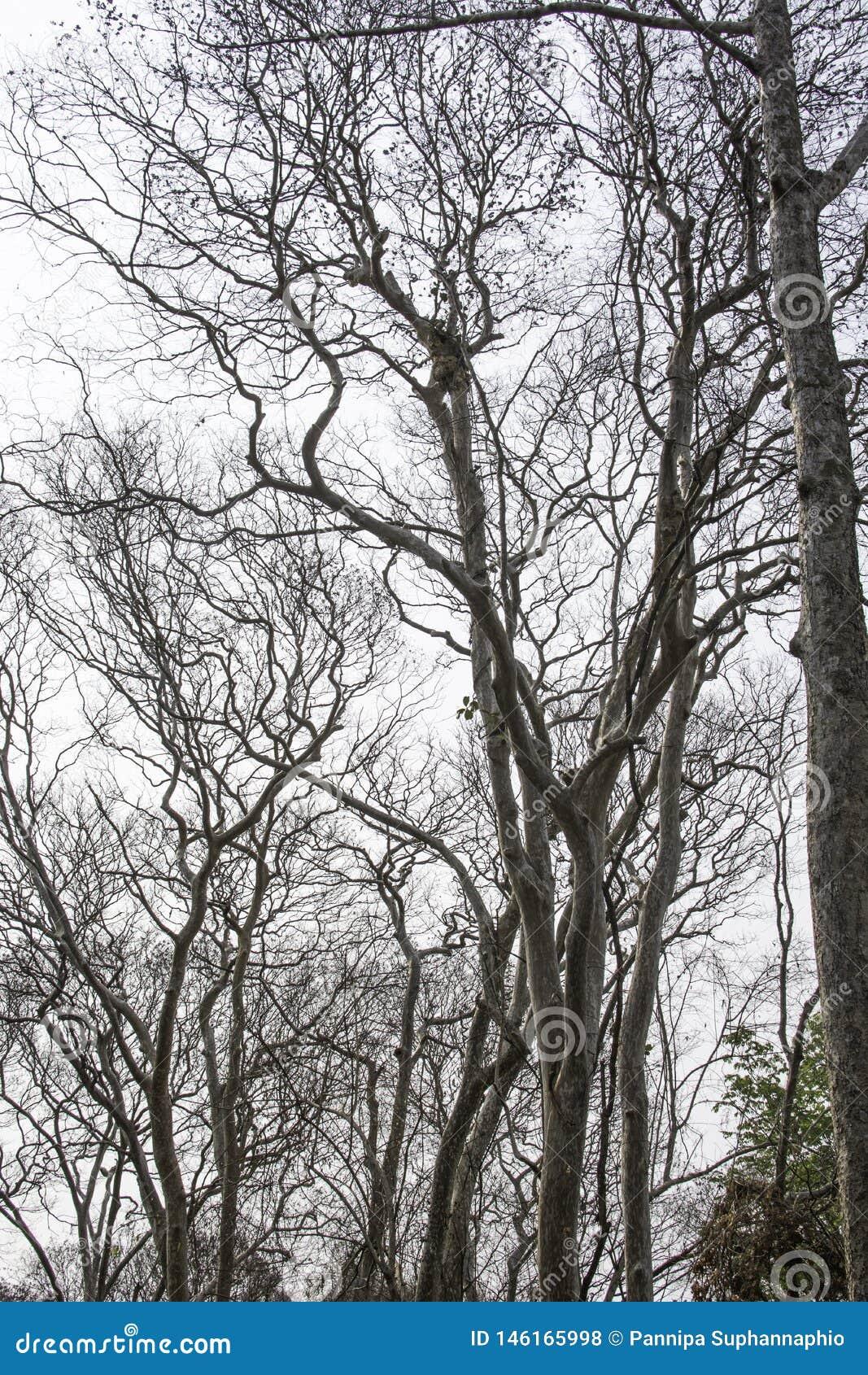 Dode eeuwigdurende bomen met een witte achtergrond
