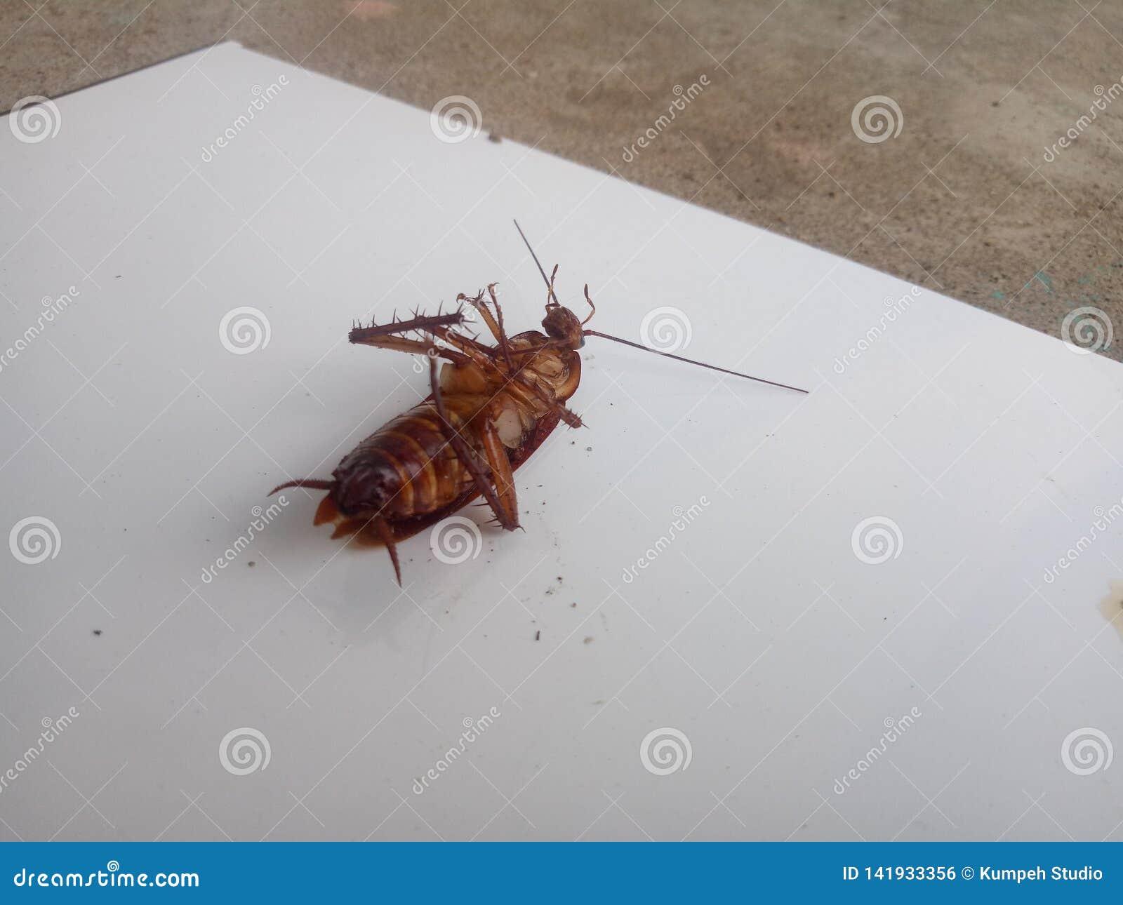 Dode kakkerlakken op een witte achtergrond kakkerlakkenbeeld