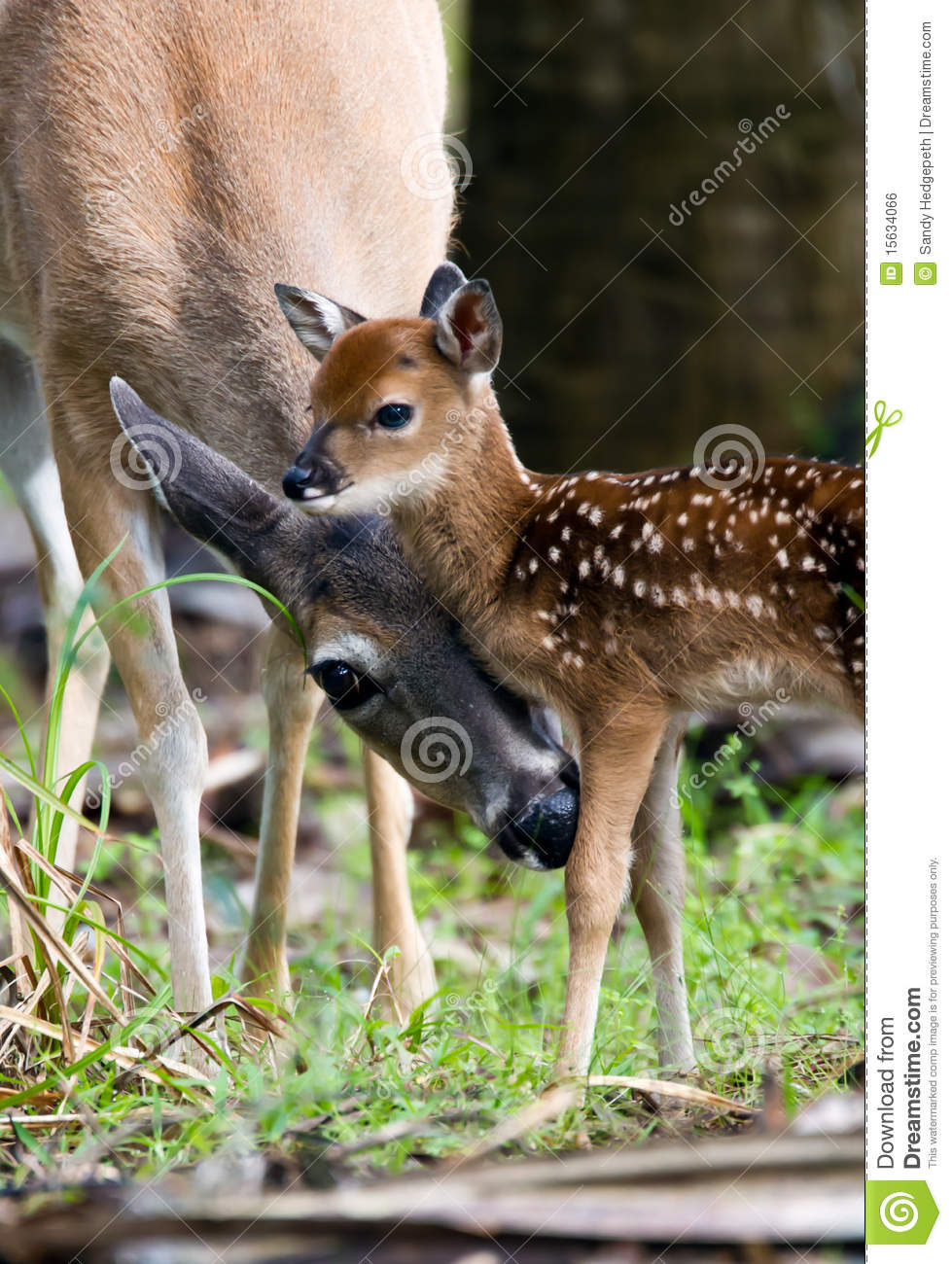 Doe Cleaning Her Young Fawn