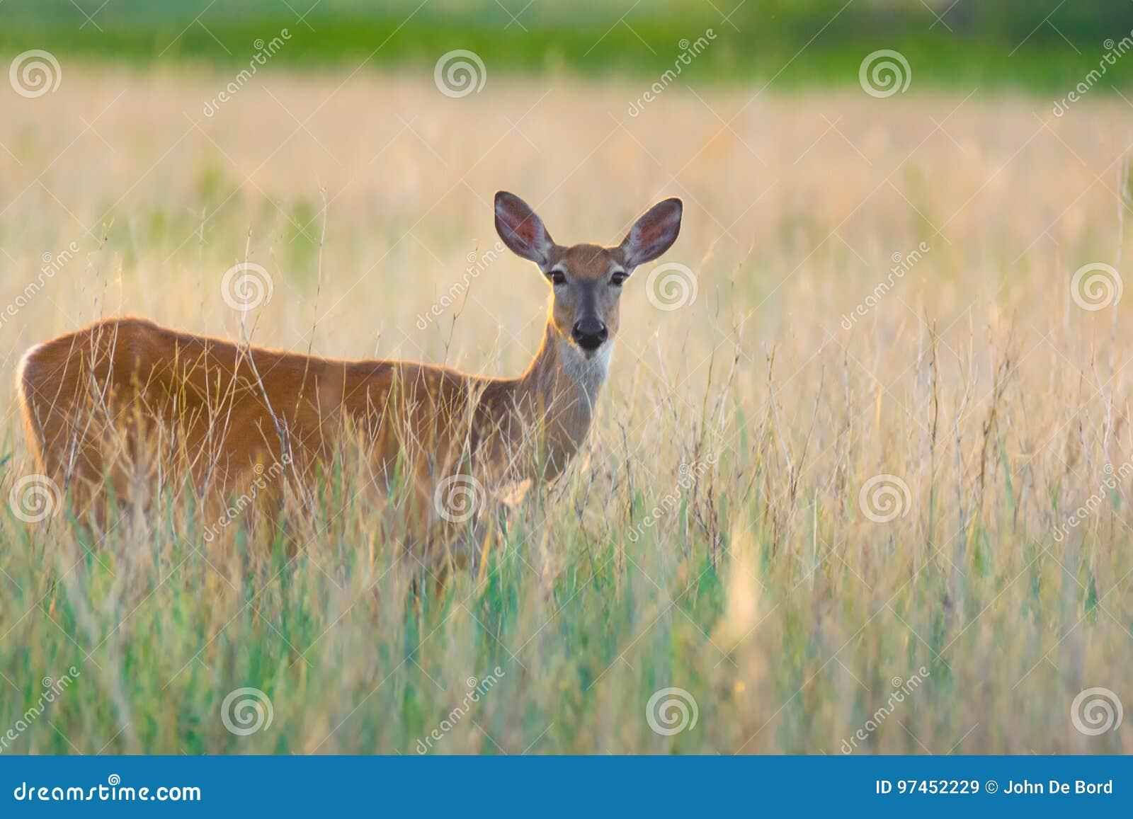 Doe jeleniej śledzić white