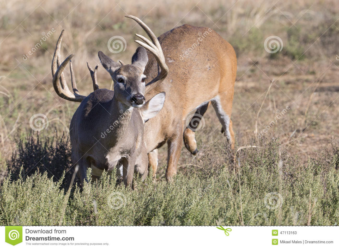 Doe Running Away From Big Whitetail Buck Stock Image ...