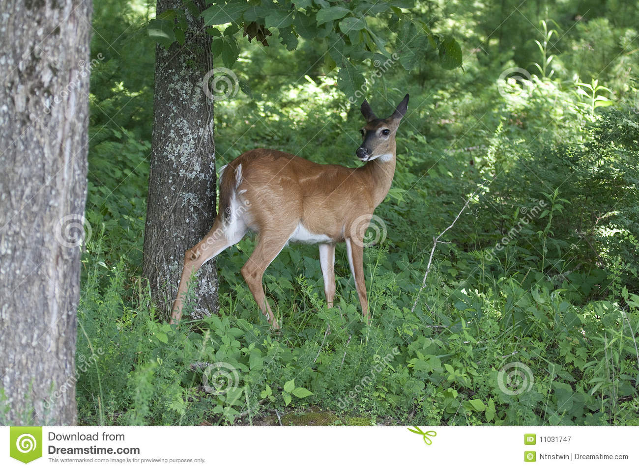 Doe Standing in the Forest