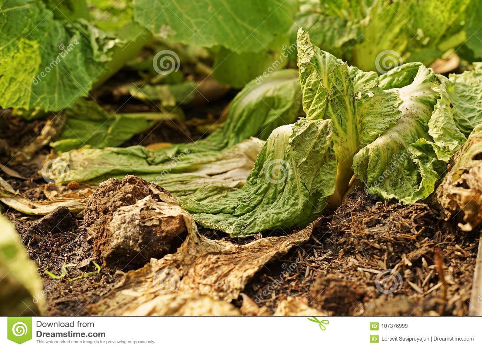 Doença do legume com folhas das bactérias