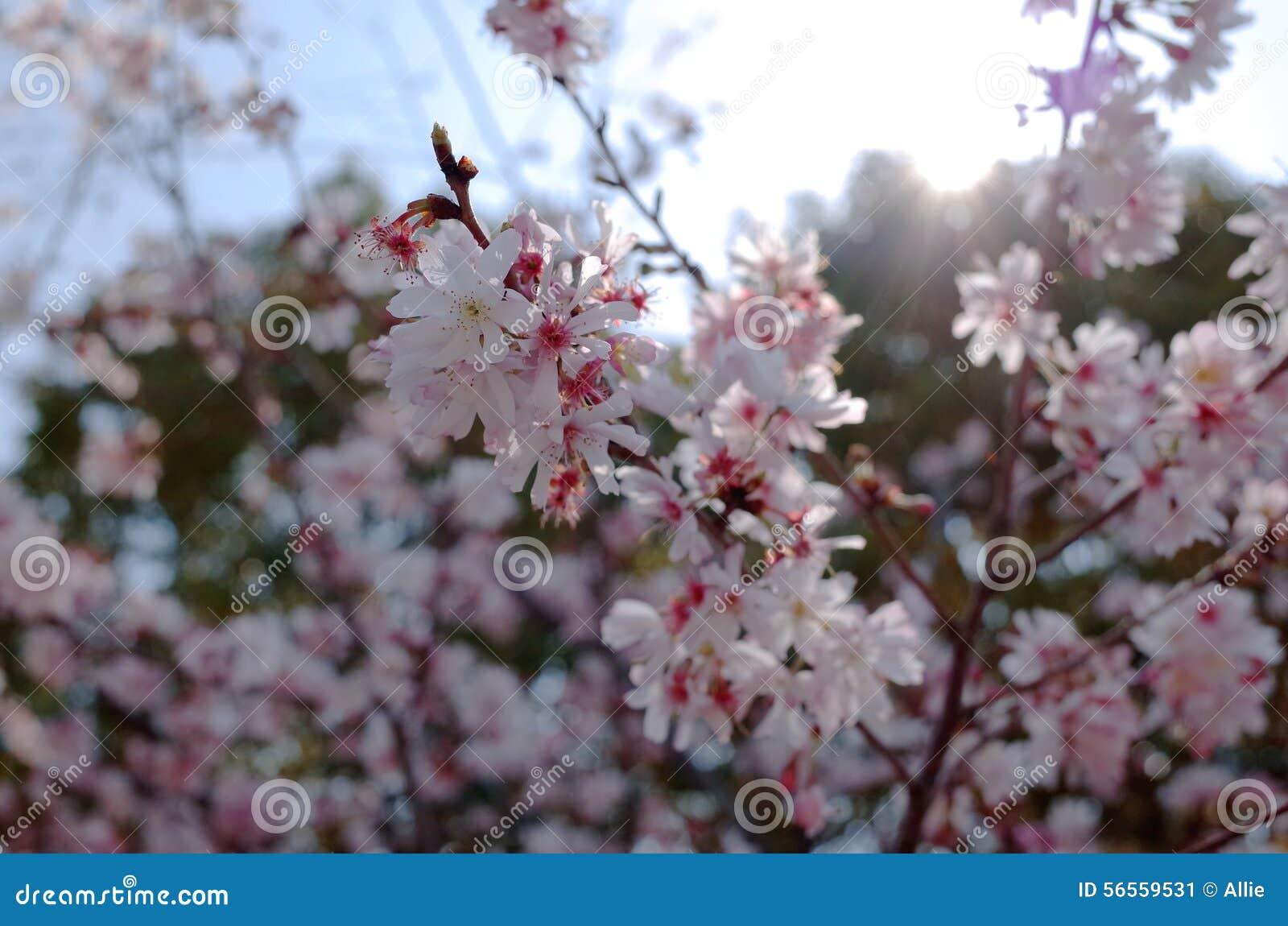Download Dof ανθών αζαλεών στενή ρηχή άνοιξη λουλουδιών επάνω Στοκ Εικόνα - εικόνα από δέντρο, άνοιξη: 56559531