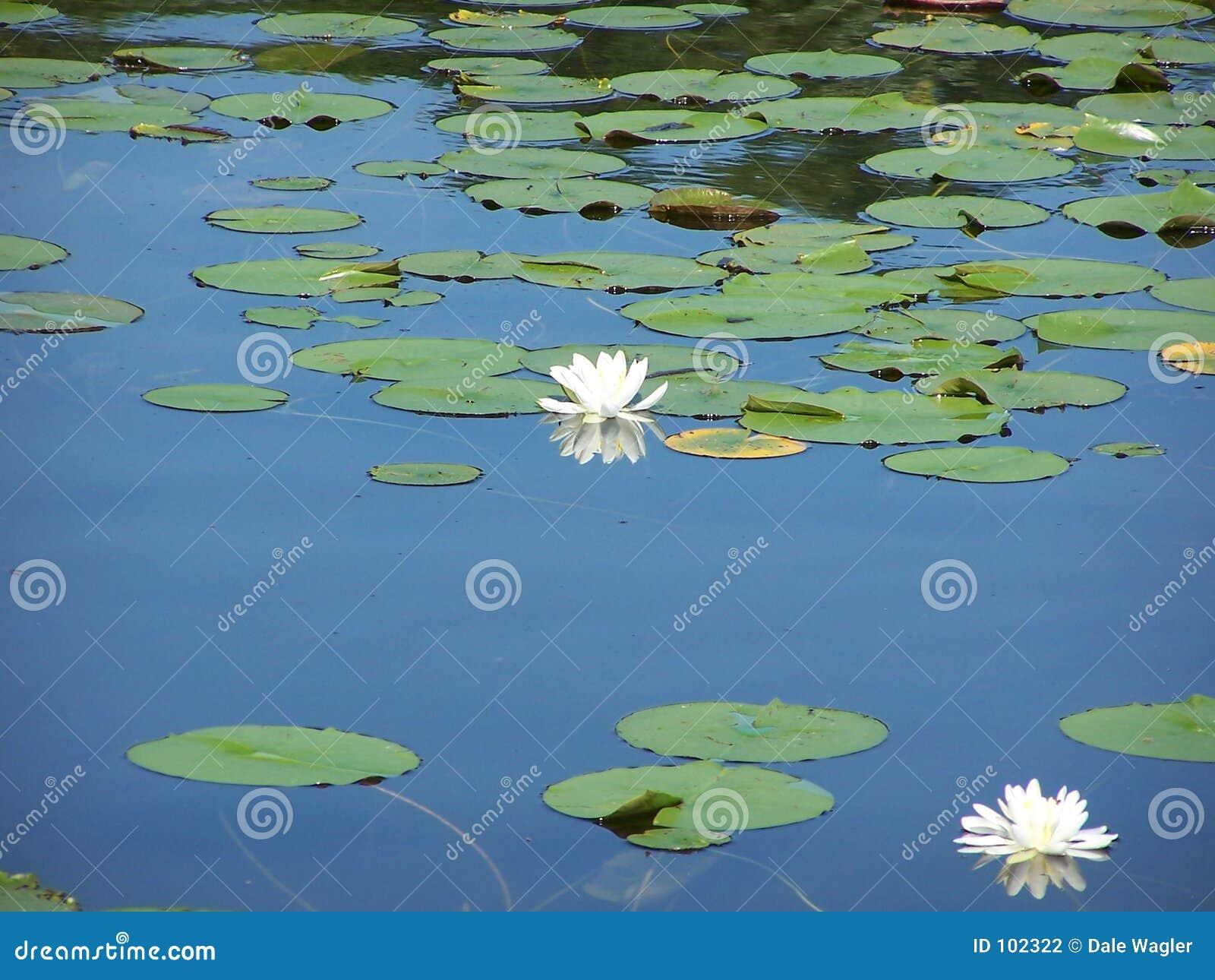 Dofta liljavatten