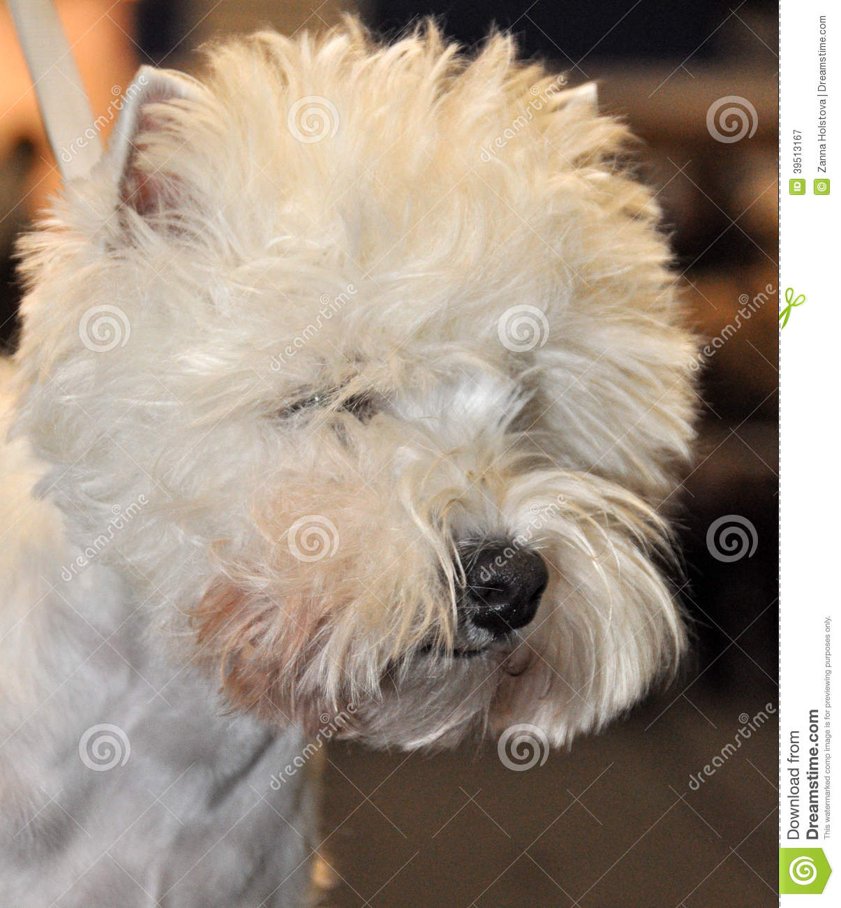 Dog ​​Bichon Frise