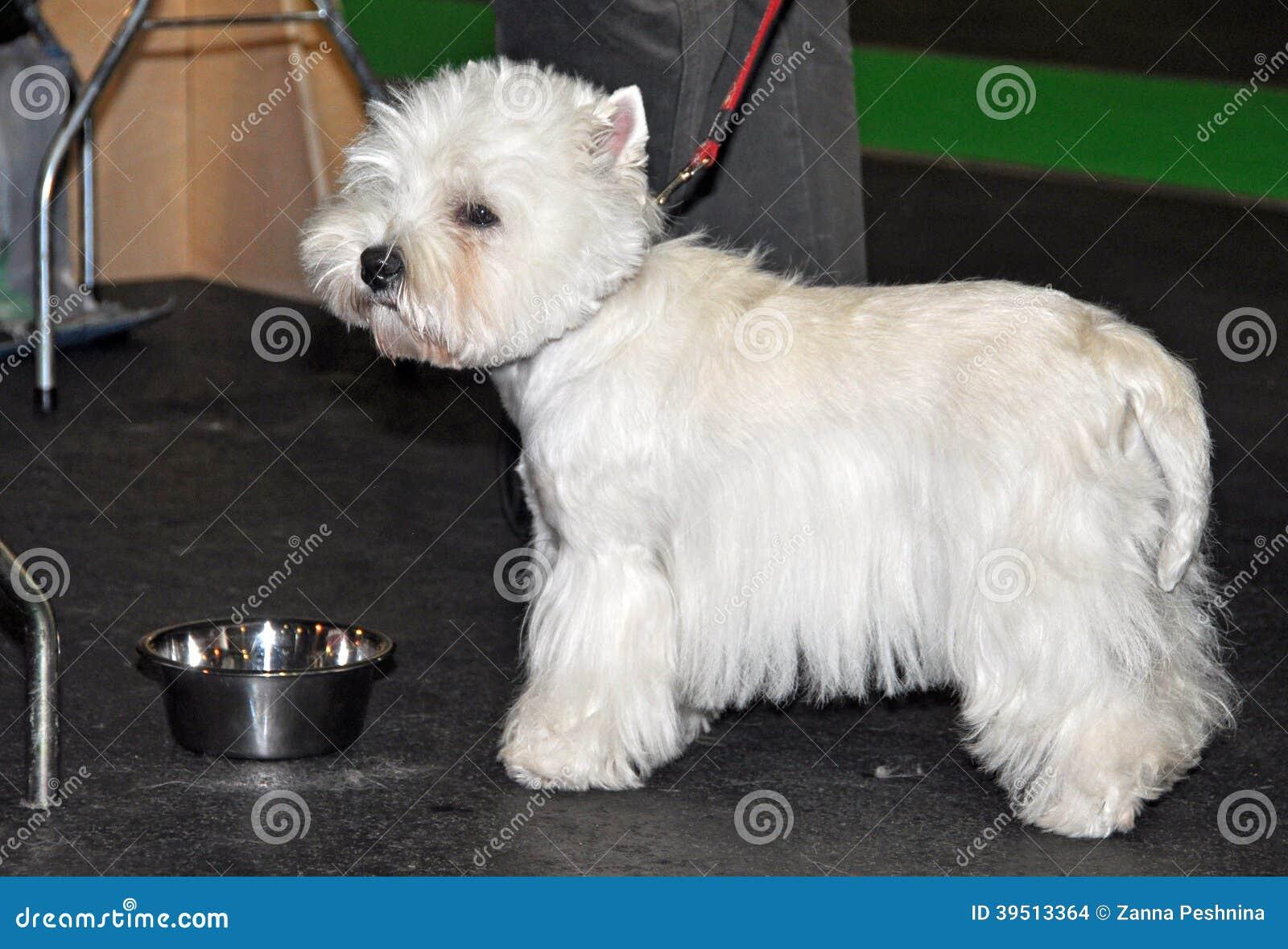 Dog Bichon Frise drinking water