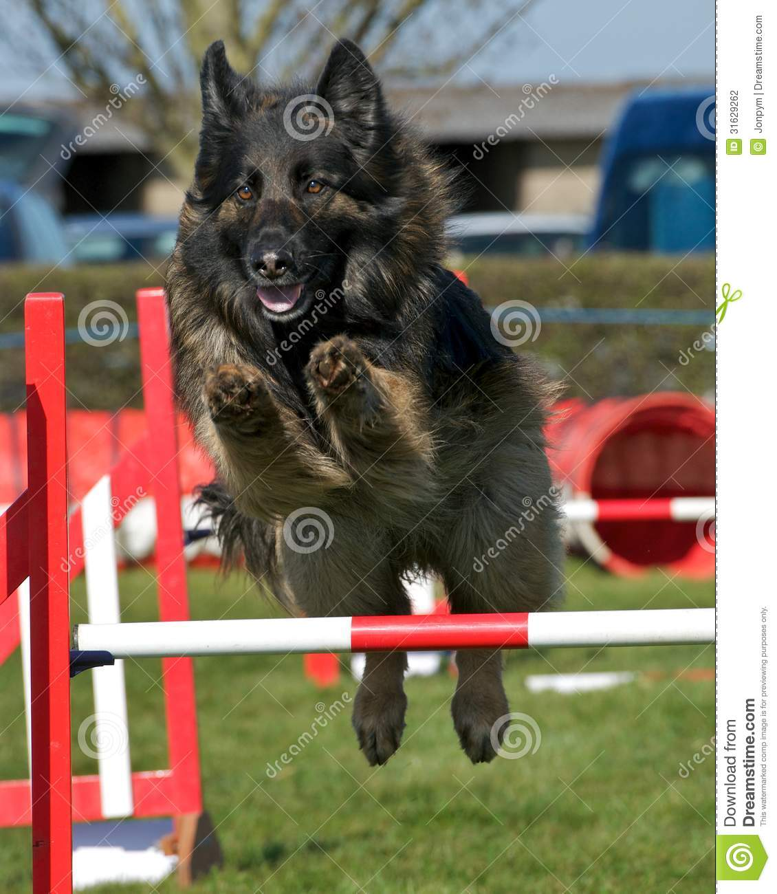 Rugby Dog Agility Show: Dog Agility Stock Photo. Image Of Clear, Cute, Doggy