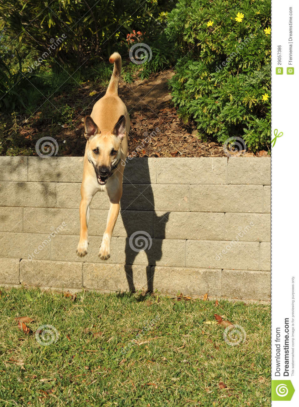 Dog Is Airborne Jumping Off A Retaining Wall Stock Photo