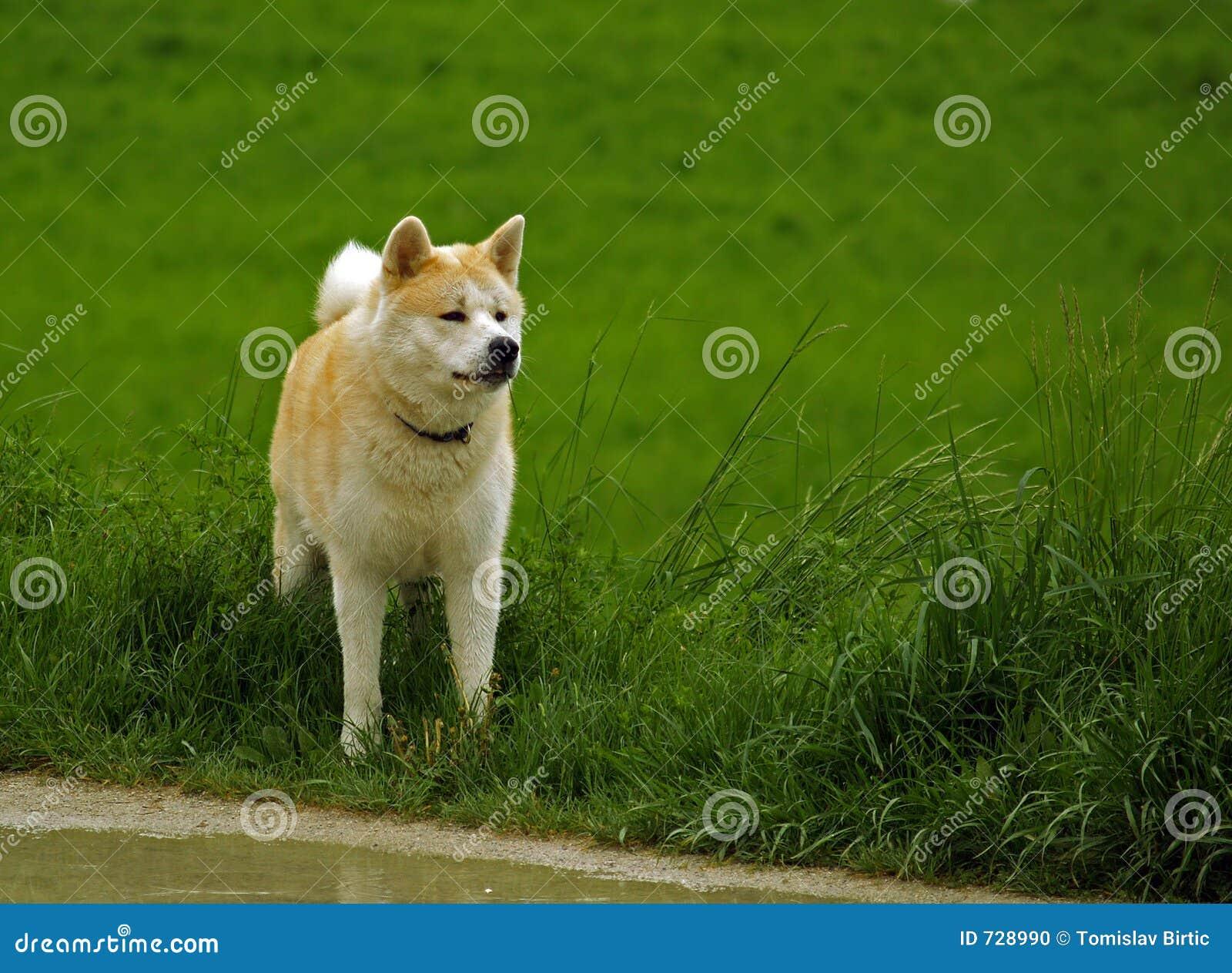 Dog / Akita Inu