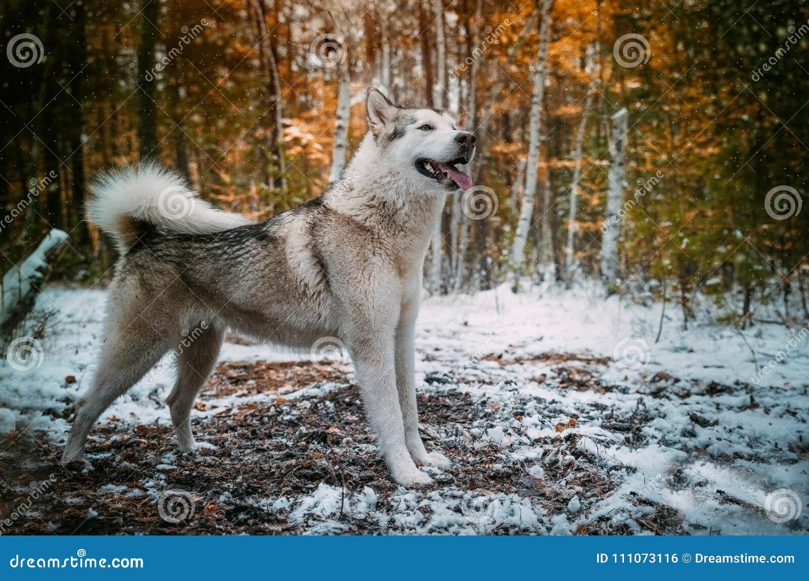 Dog is an Alaskan malamute