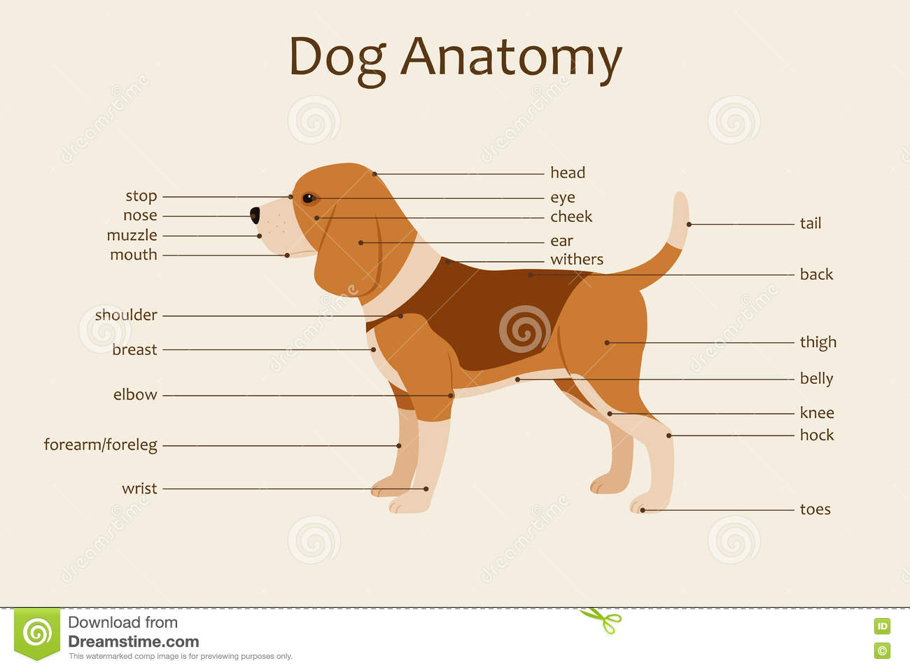 Dog anatomy stock vector. Illustration of clip, educational - 77213687