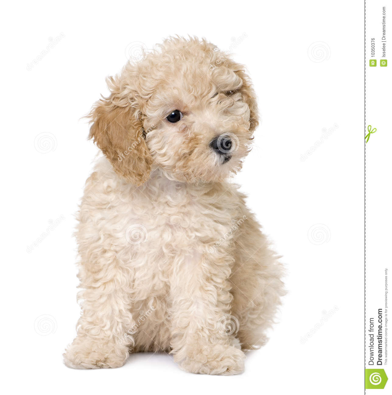 Puppy Cut Toy Poodle Dog : apricot toy poodle puppy