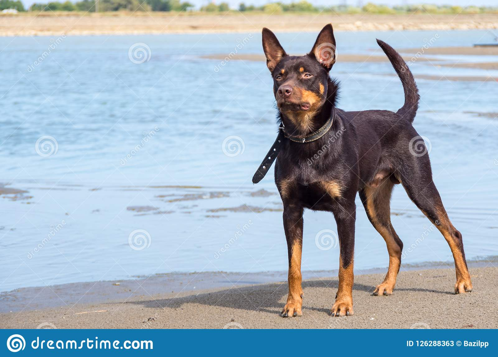 A Dog Of Australian Kelpie Breed Plays On Sand And In A