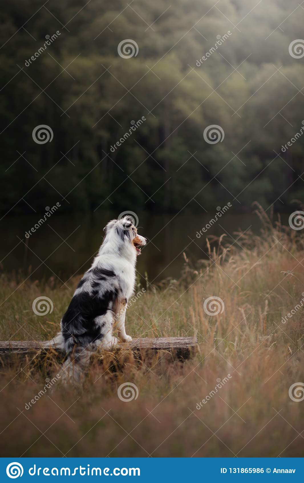 Dog Australian Shepherd sitting on a bench. Pet in nature. Autumn mood