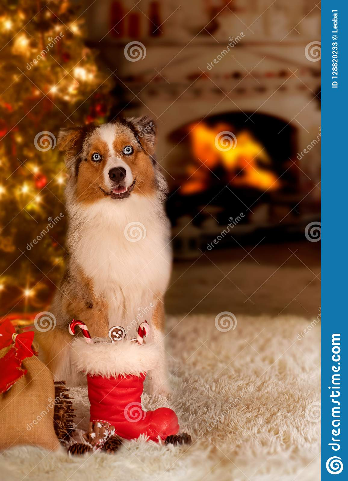 dog australian shepherd sitting in front of the christmas tree