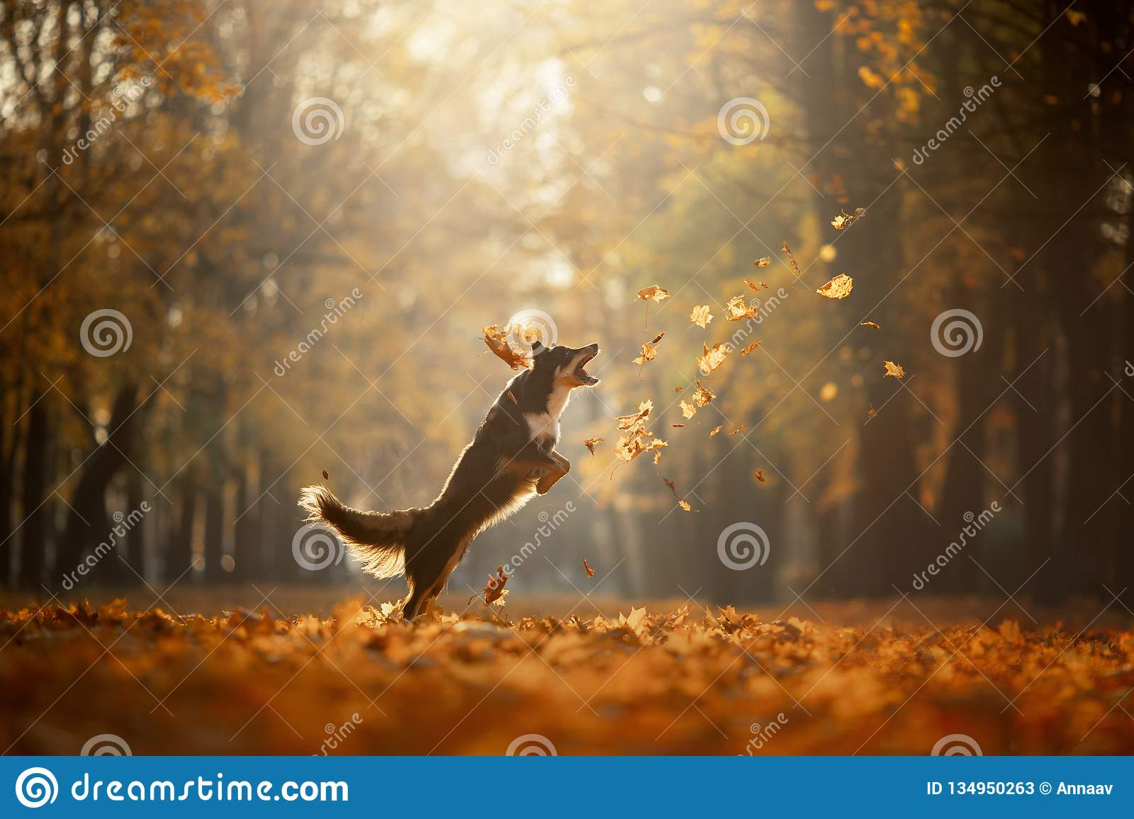 Dog autumn on nature. active Pet in the Park. Yellow foliage