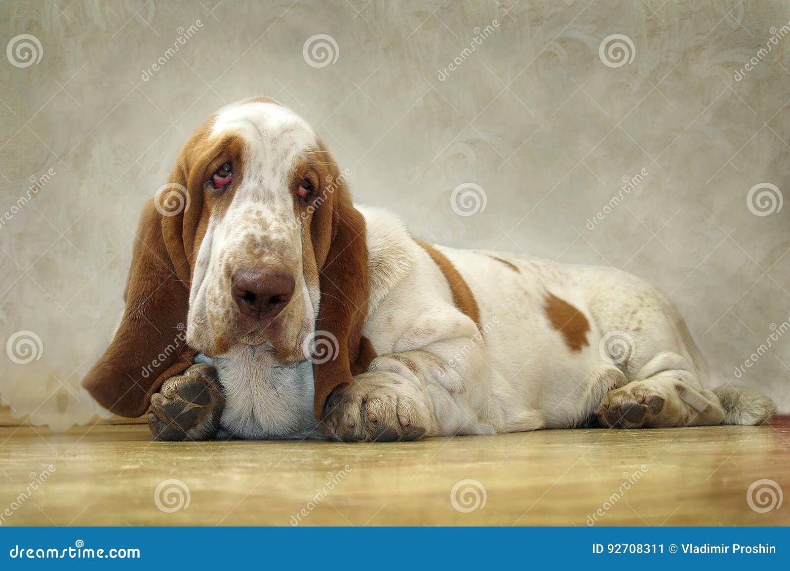 Dog Basset Hound looks sad eyes