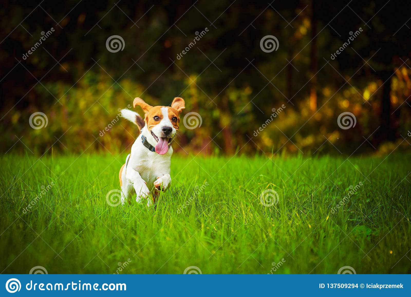 Dog having fun running towards camera with tongue out towards camera in summer day on meadow field