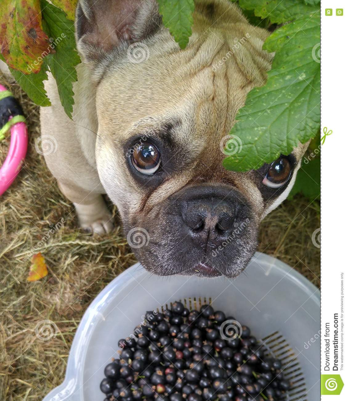 Can Dogs Eat Raspberries Uk