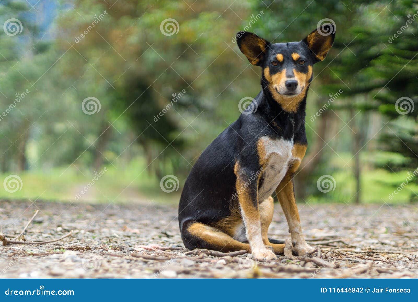 Dog with big ears sitting
