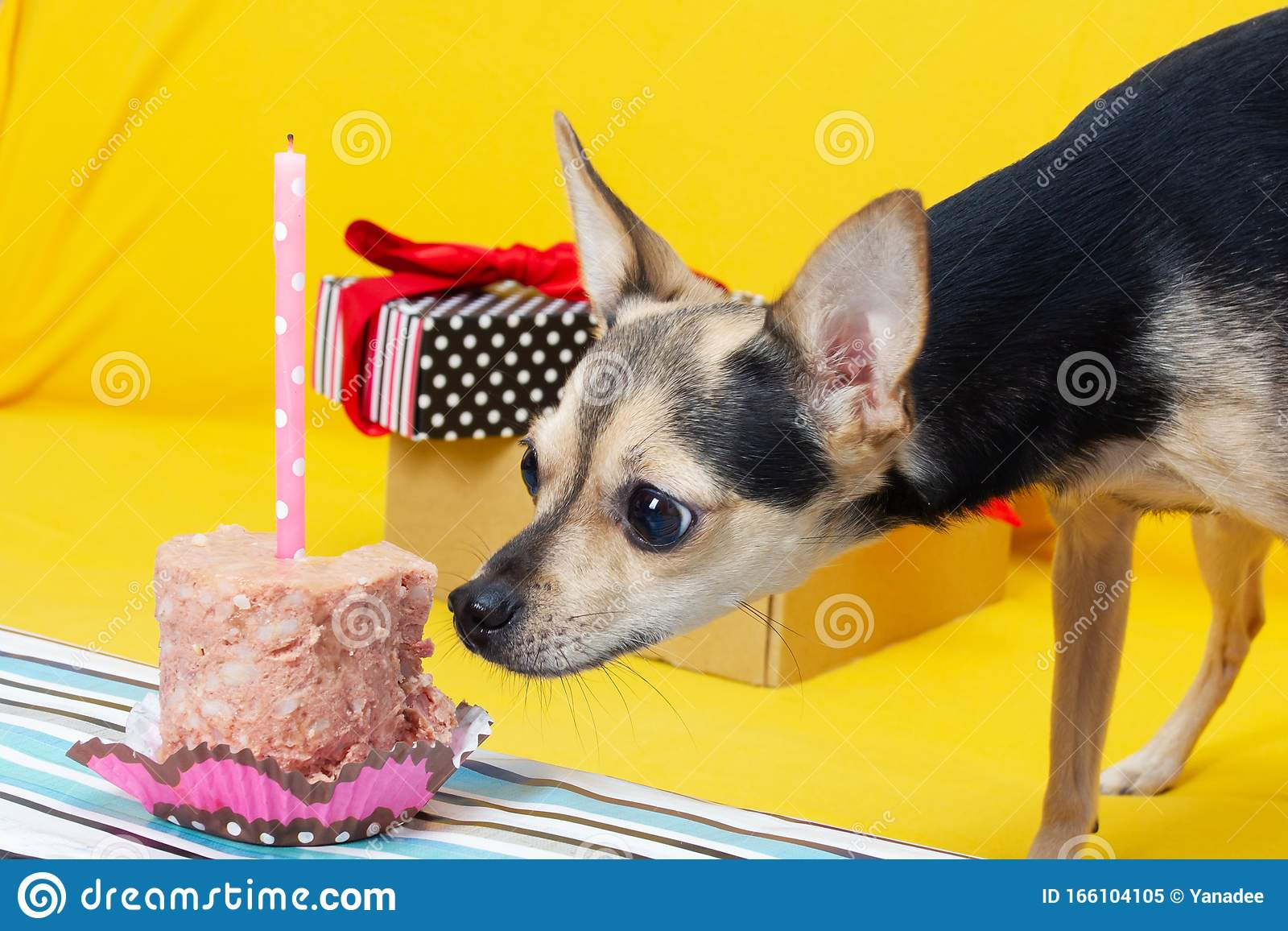 Pleasing A Cute Dog Toy Terrier In A Festive Cap On The Anniversary Eats A Funny Birthday Cards Online Alyptdamsfinfo