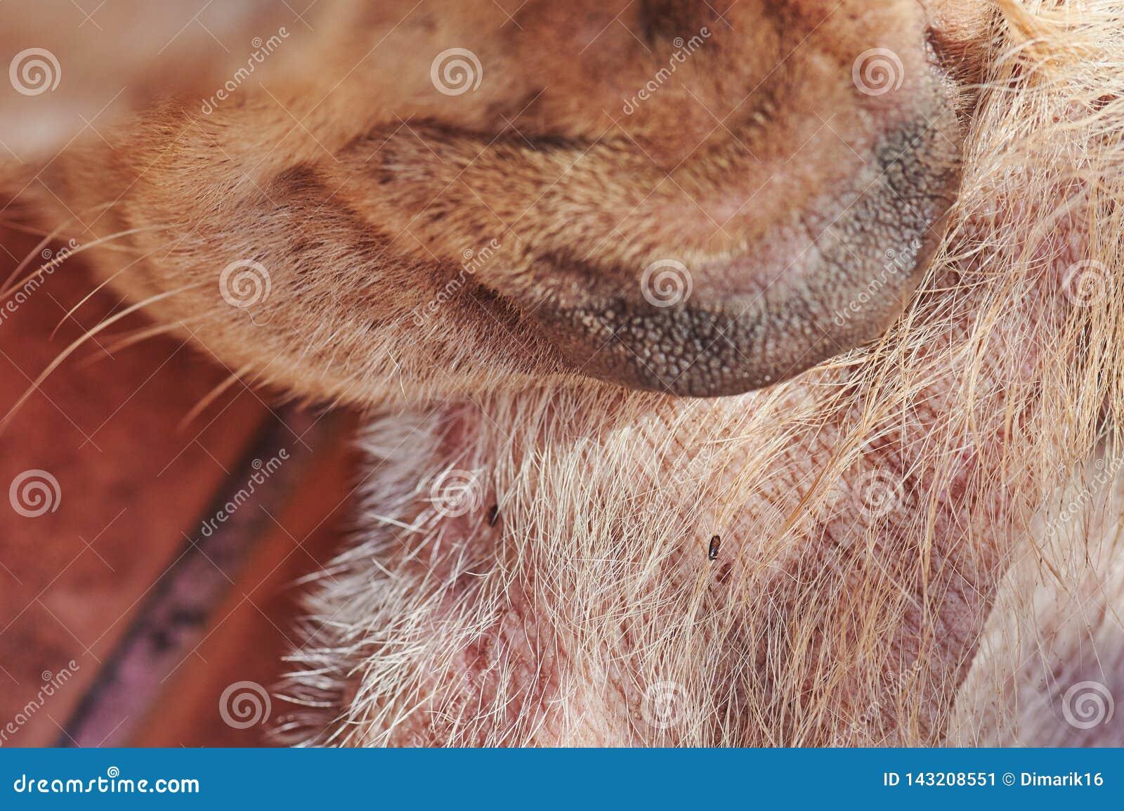 Dog bite flea on fur