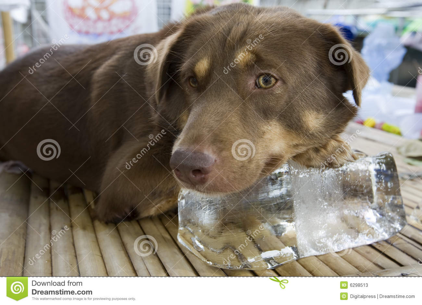 Dog on block of ice