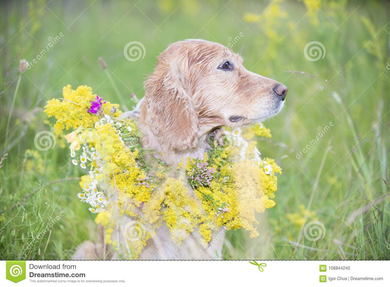 Golden Spaniel In A Meadow With A Bouquet Of Spring Flowers Stock
