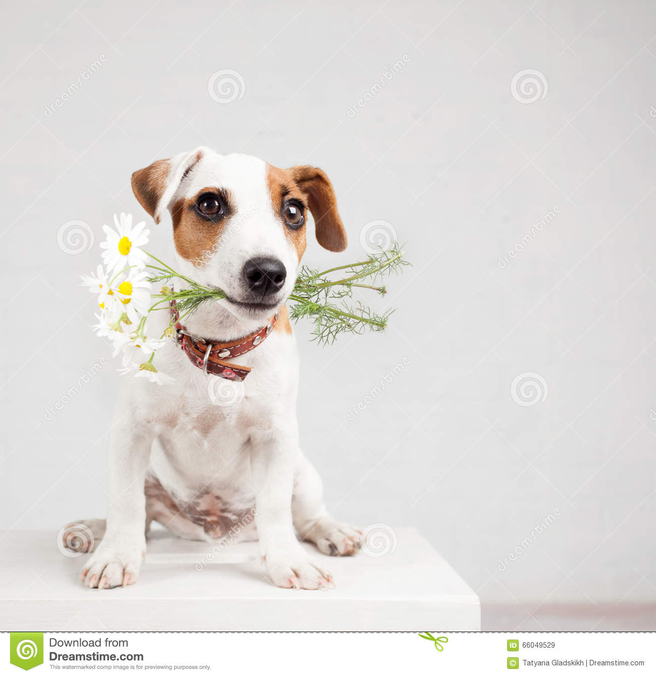 Dog With A Bouquet Of Flowers In A Teeth Stock Image - Image of ...