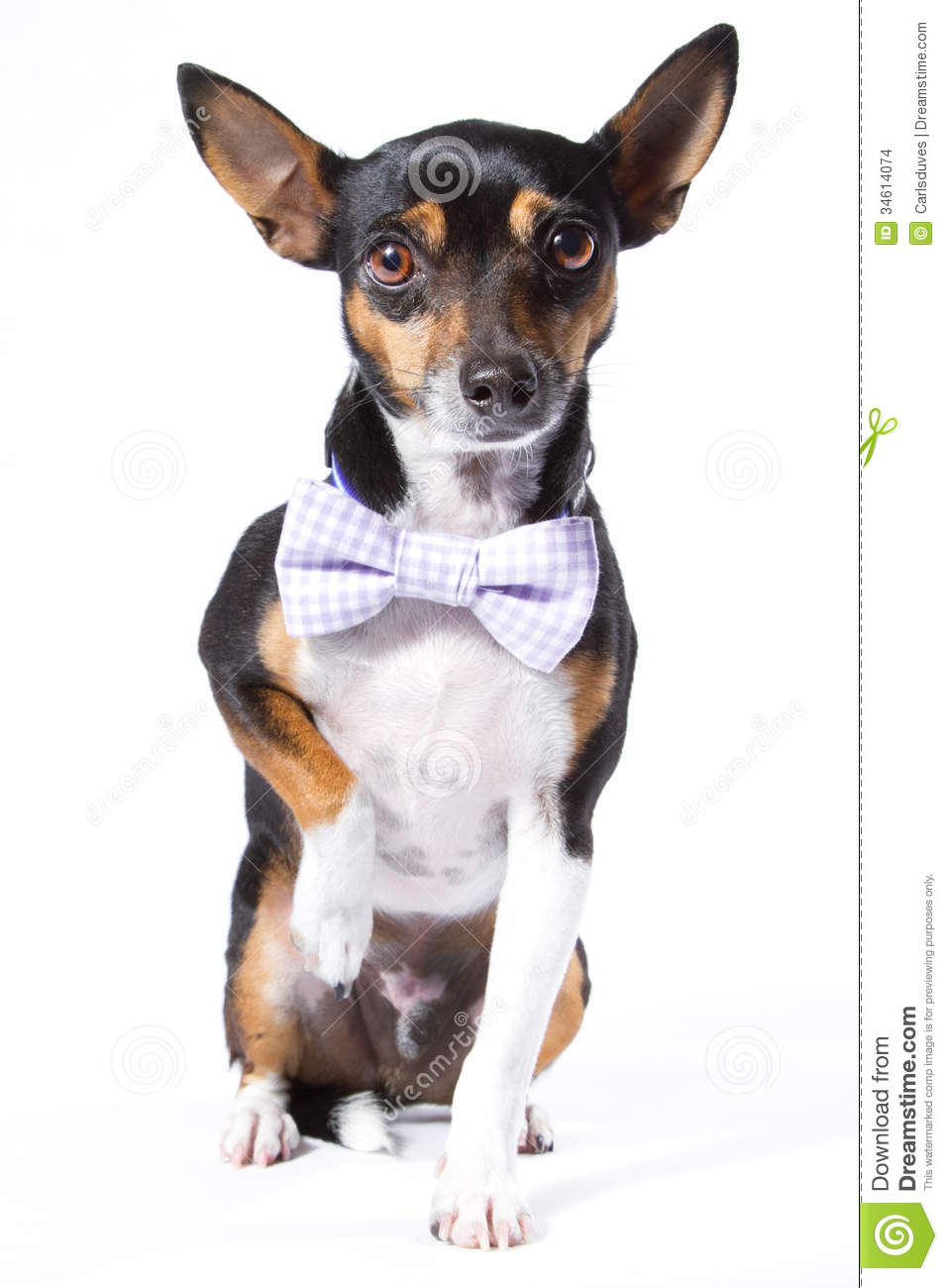 Popular Bow Tie Bow Adorable Dog - dog-bowtie-cute-bow-tie-34614074  Perfect Image Reference_805242  .jpg