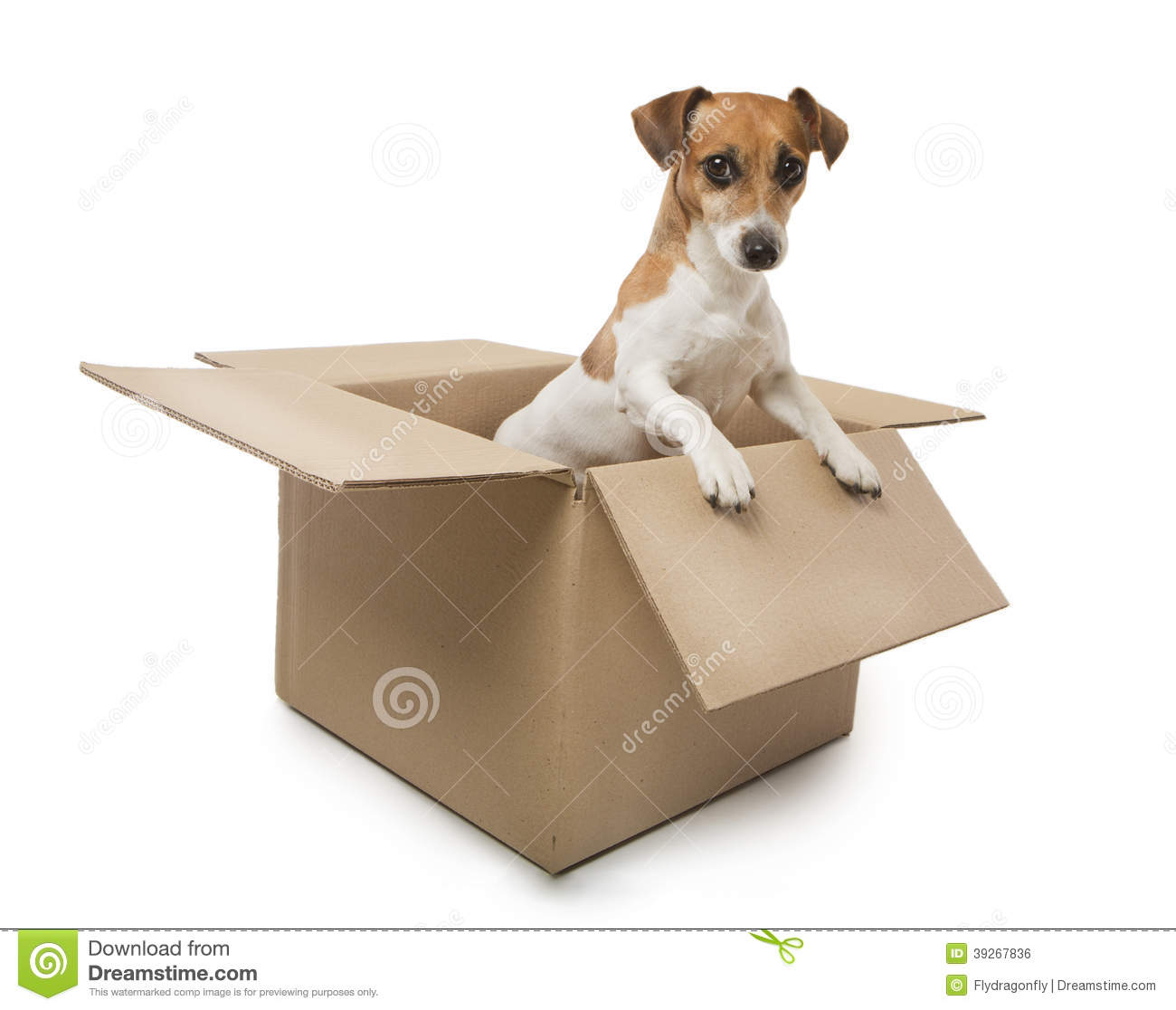 Jack Russell Terrier dog inside a cardboard box moving house. White ...