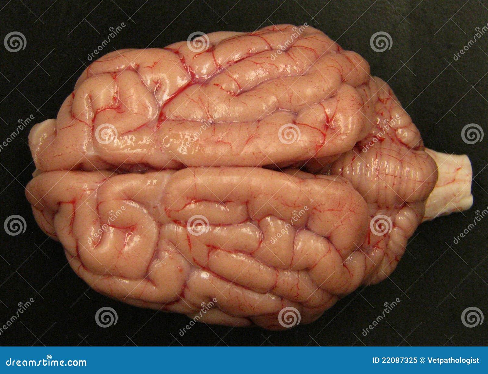 Dog Brain Anatomy - Anatomy Of A Male Dog Brain Stock Illustration ...