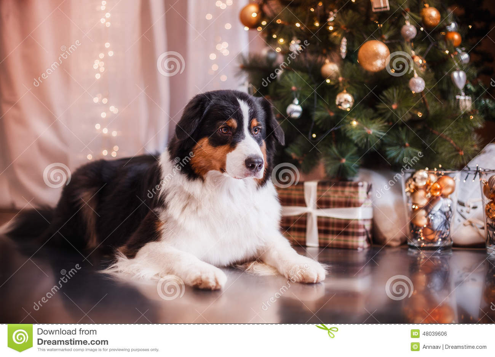 Dog Breed Australian Shepherd, Aussie, Christmas And New ...