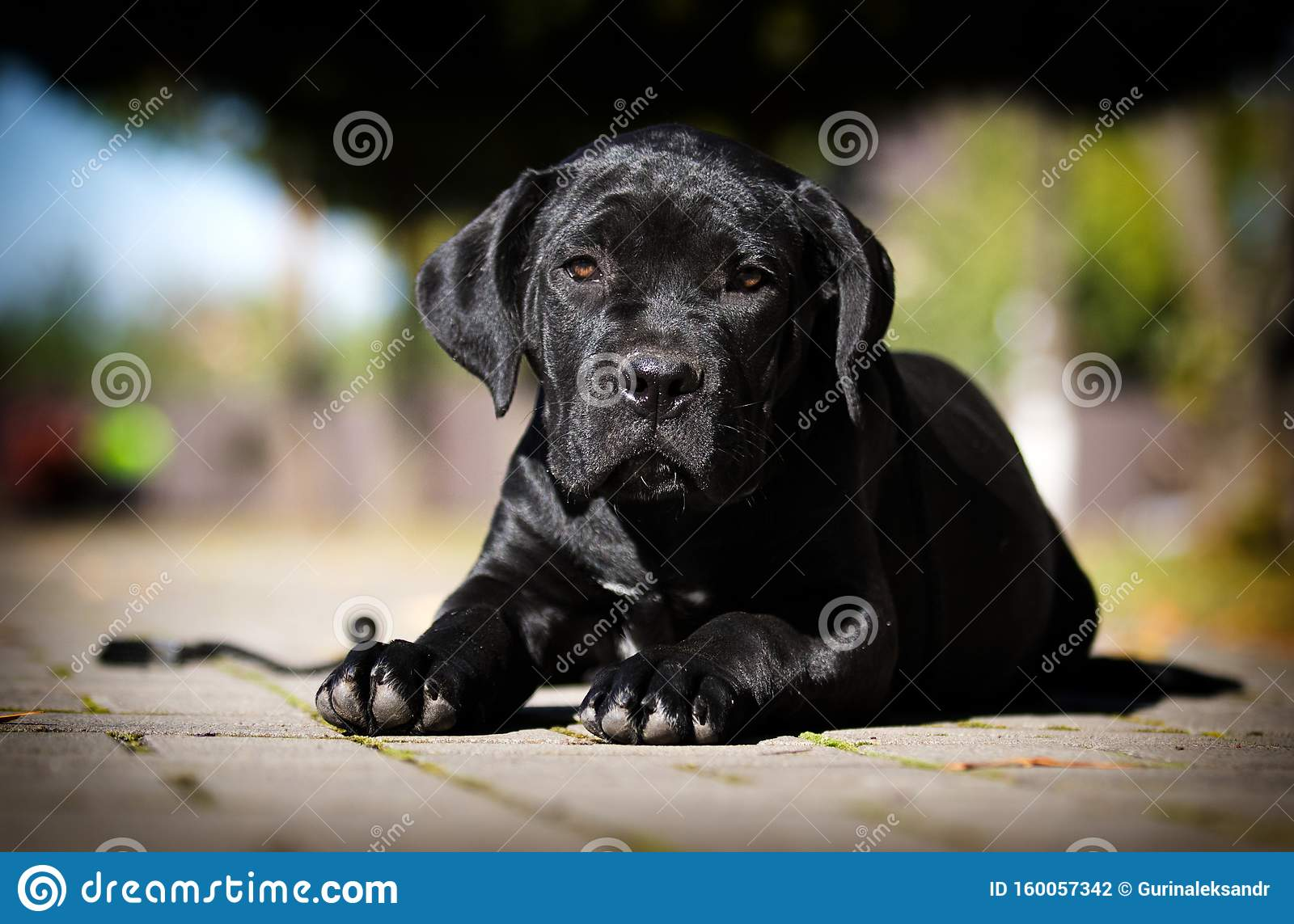 Dog Breed Cane Corso Stock Photo Image Of Pedigree 160057342