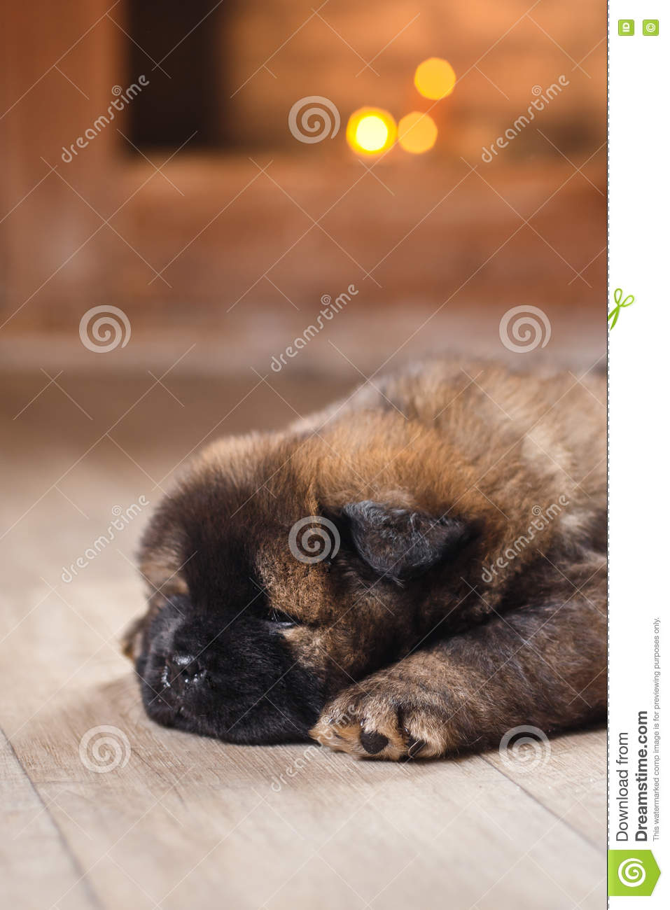 Dog Breed Chow Chow Puppy Stock Photo Image Of Black 74891136