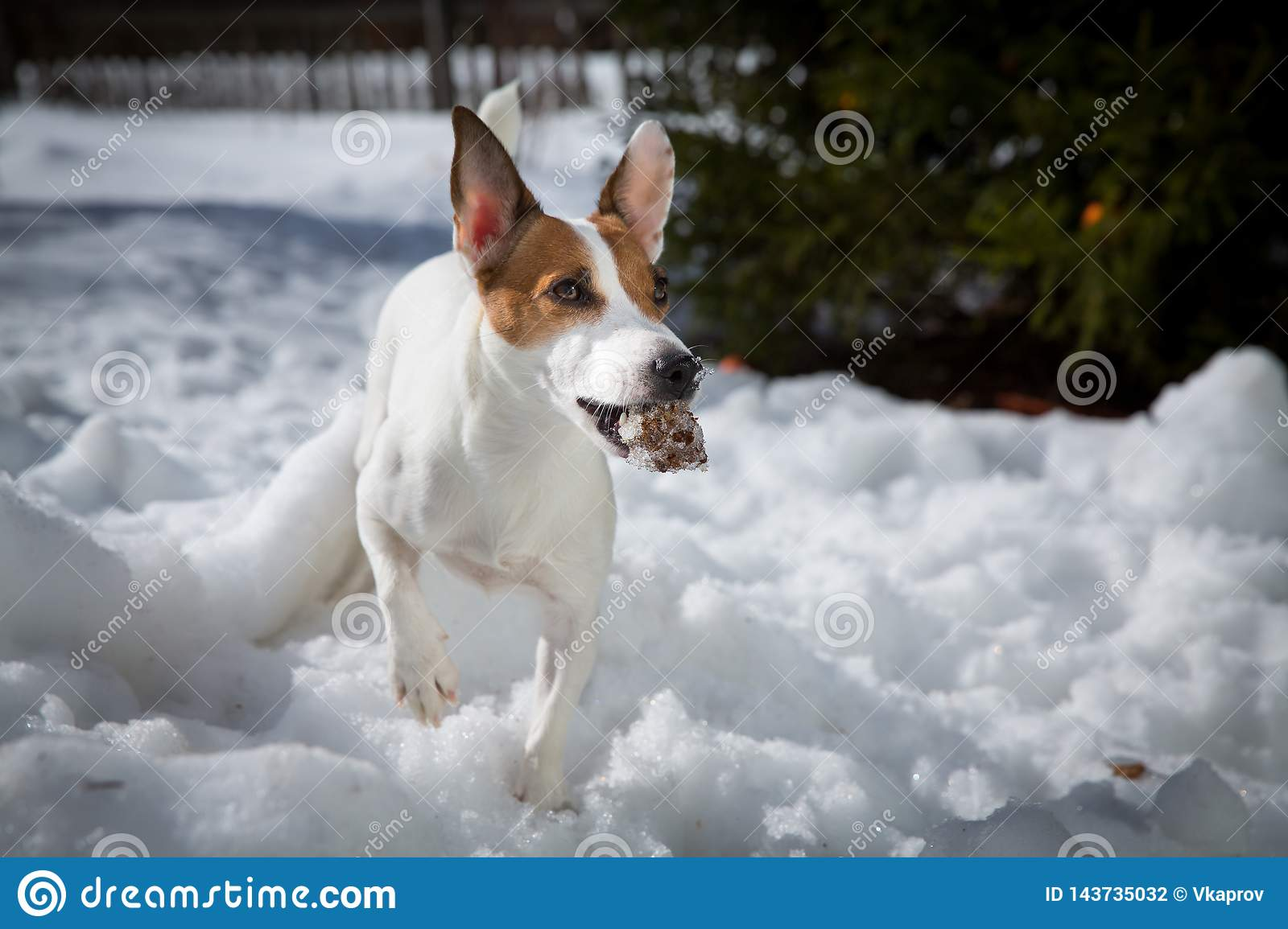 A dog with a bump in the snow