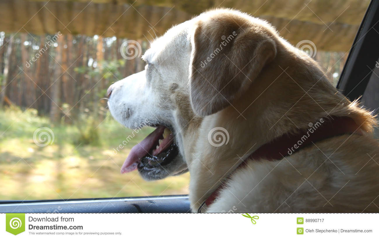 Dog breed labrador or golden retriver looking into a car window. Domestic animal sticks head out moving auto to enjoying
