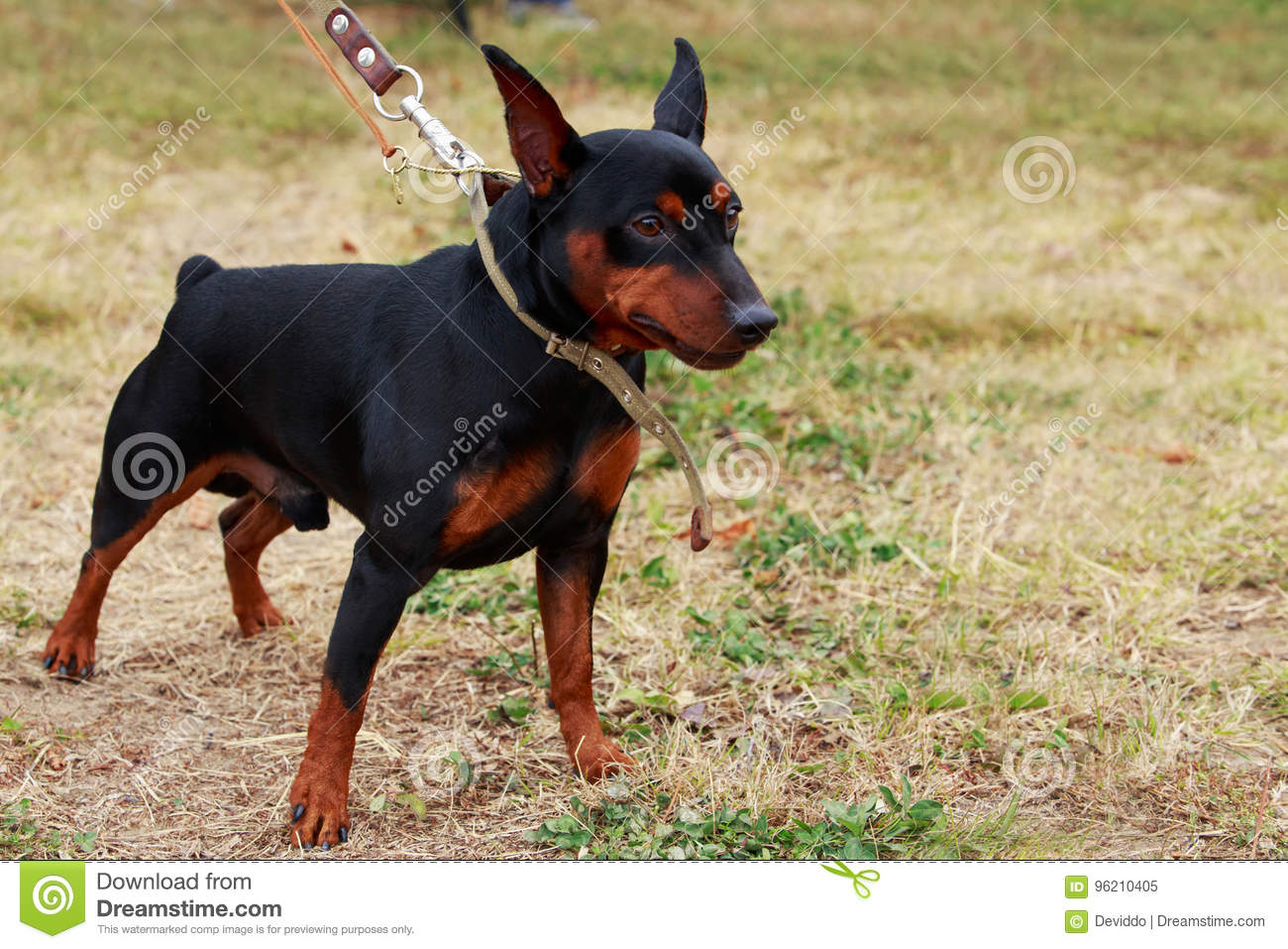 Dog Breed Mini Pinscher Stock Image Image Of Grass Brown 96210405