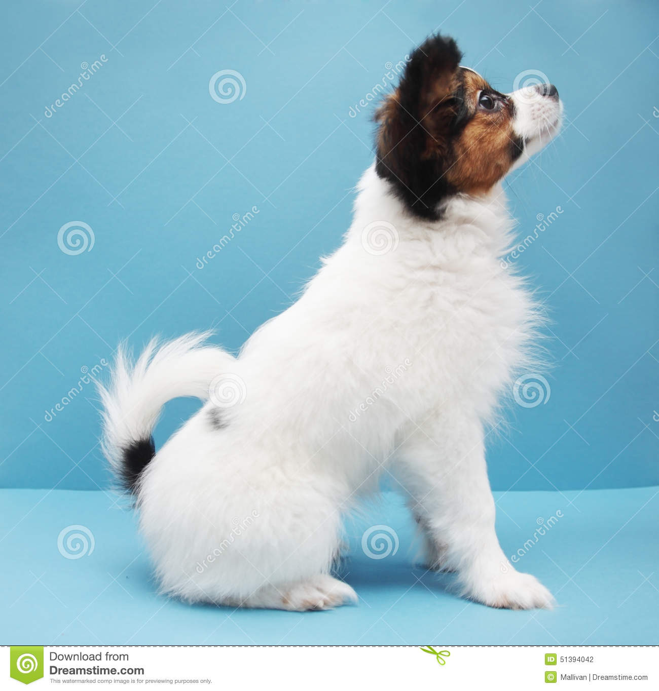 Dog Breed Papillon On A Blue Background Stock Photo Image Of Hair